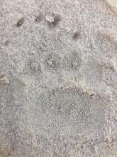 Grizzly Bear Track; Bryan Ulring